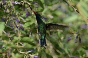 Kolibri im Botanischen Garten