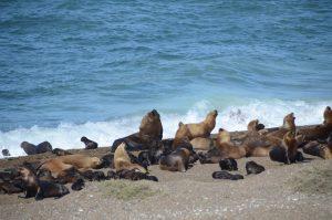 Seelöwenkolonie am Punto Norte auf der Halbinsel Valdès