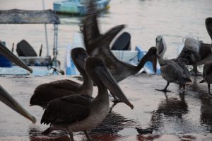 Pelikane freuen sich auch über Fischers Beute auf Santa Cruz