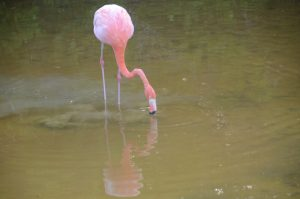 Flamingo in der Villamil Lagoon