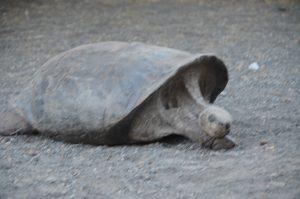 Die Schildkröten im Centro de Crianza de Tortugas schlafen schon. Ganz deutlich erkennen wir den Unterschied zu den uns bereits bekannten Tieren anhand der Panzerform.
