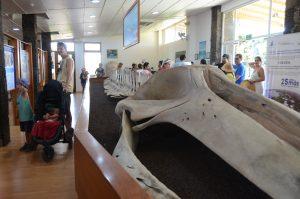 Ein echtes Walskelett bekommen wir im Informationscenter zu Gesicht.